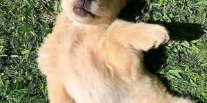 Adorable golden retriever male pupp