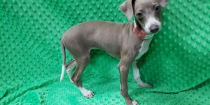 Italian Greyhound puppies out for a
