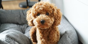 Adorable Teacup toy poodles puppies