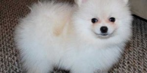 Charming Teacup Pomeranian puppies